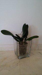 Orquídea sin flor