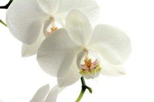 Orquídea PalomaTrends